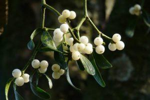 Biljka imela s bijelim bobicama
