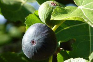 Plodovi smokve na stablu