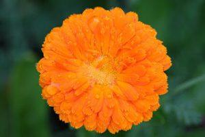 Narančasti cvijet nevena